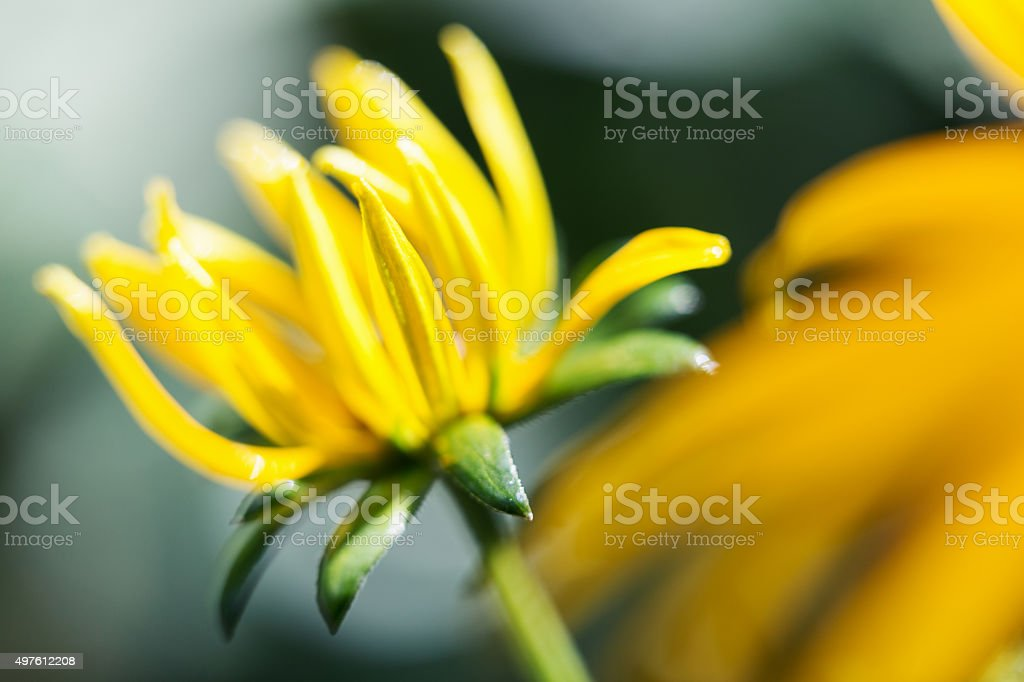 Black Eyed Susan About to Bloom stock photo