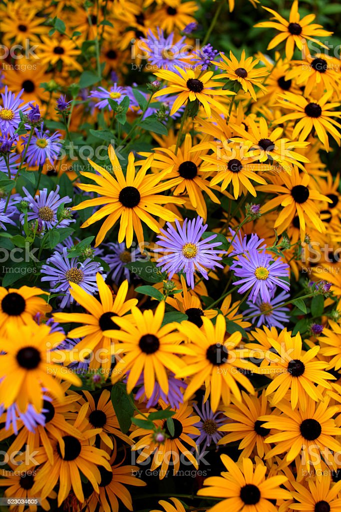 Black Eyed Susan and Aster stock photo