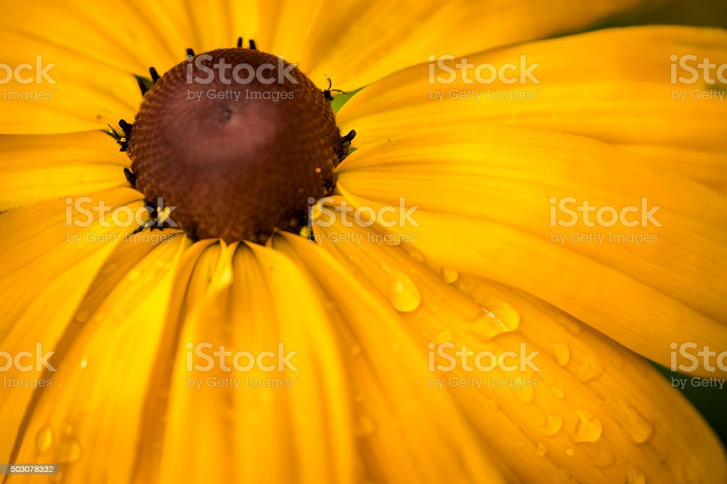 Black eyed susan flower. Yellow rudbeckia. stock photo