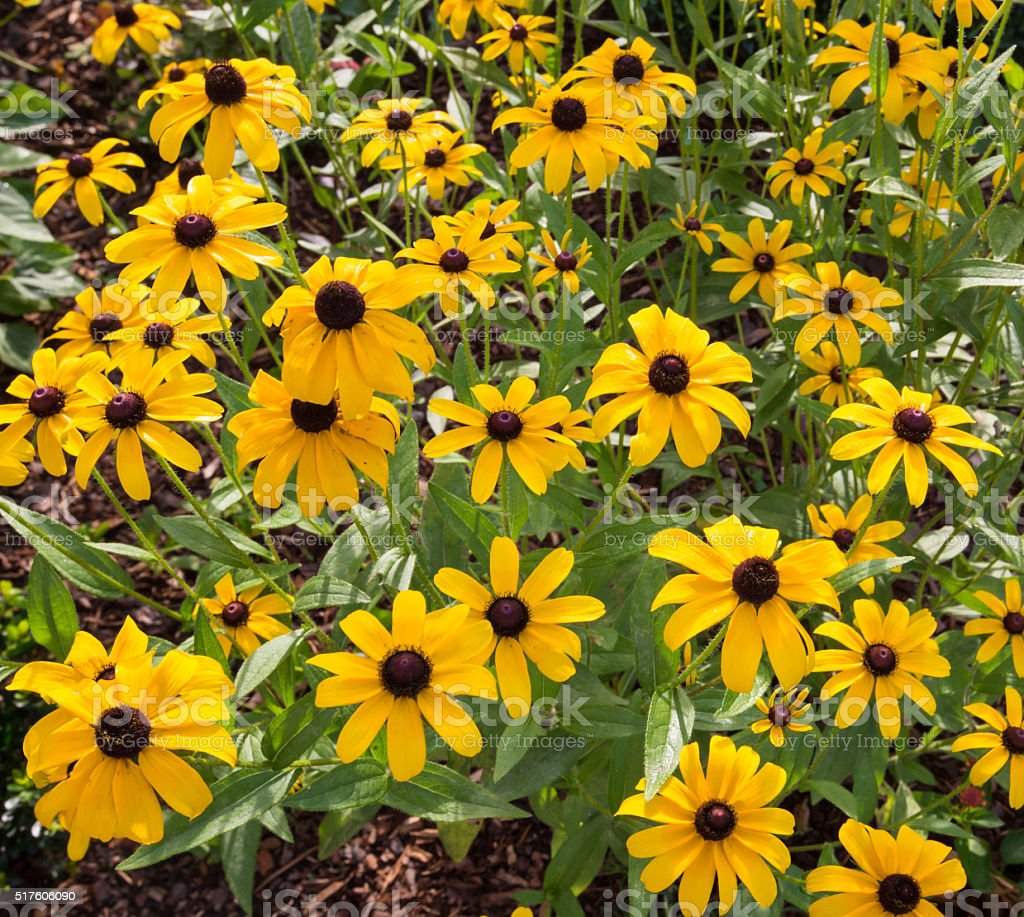 Black eyed susan flowers in the wild stock photo