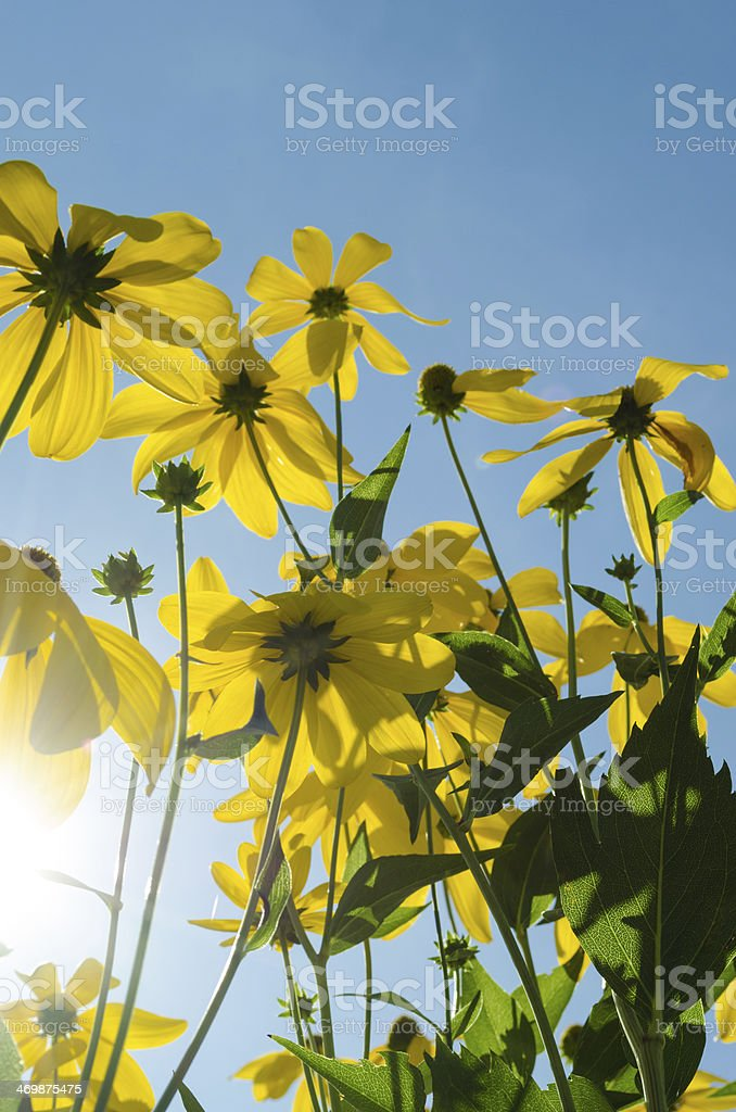 Black eyed Susan flowers stock photo