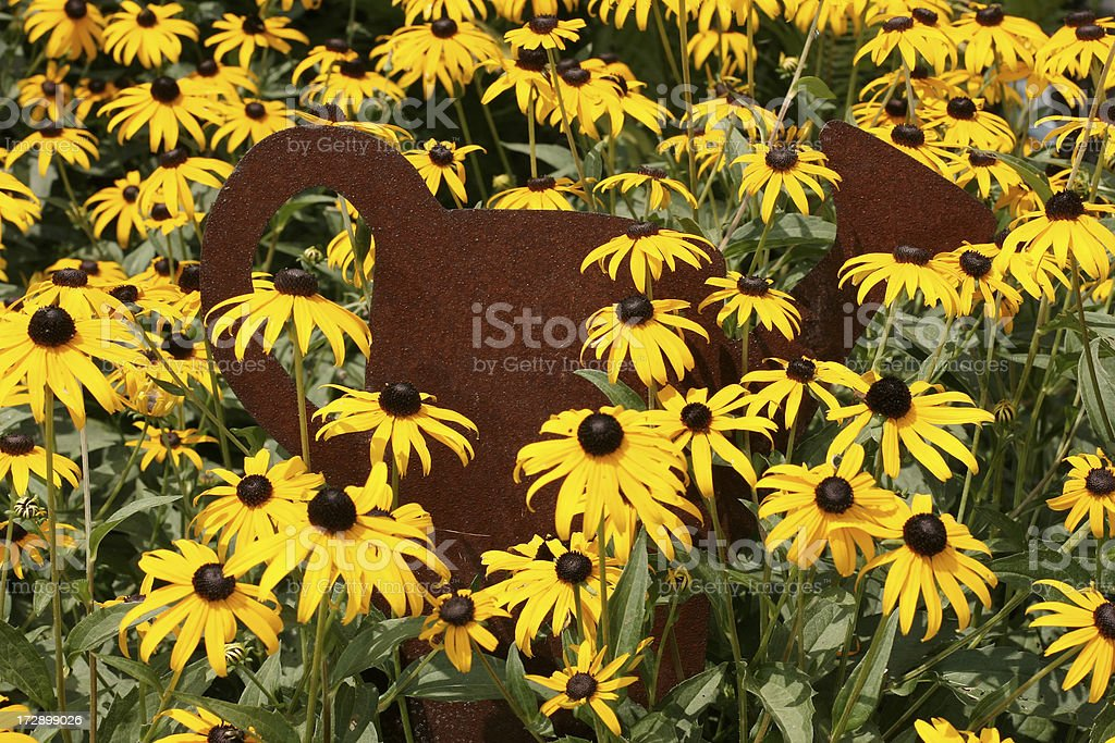 Black -Eyed Susan overgrowing a watering can decoration stock photo