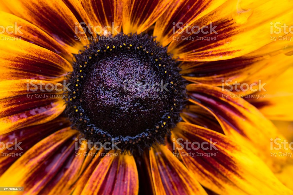 Black Eyed Susan stock photo