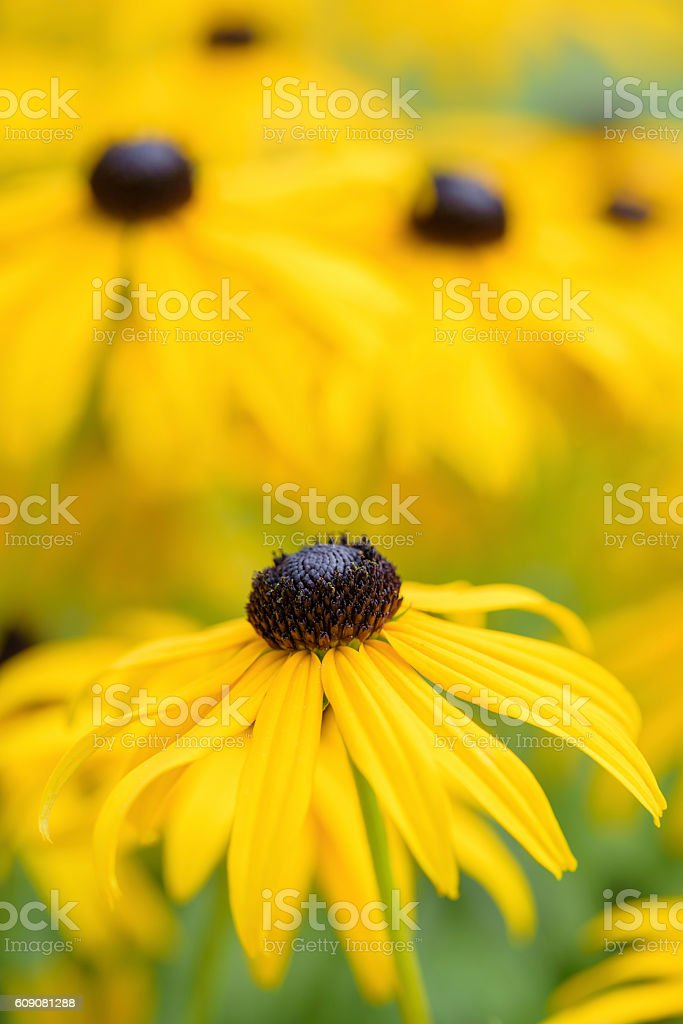 Black eyed susan- rudbeckia flowers stock photo