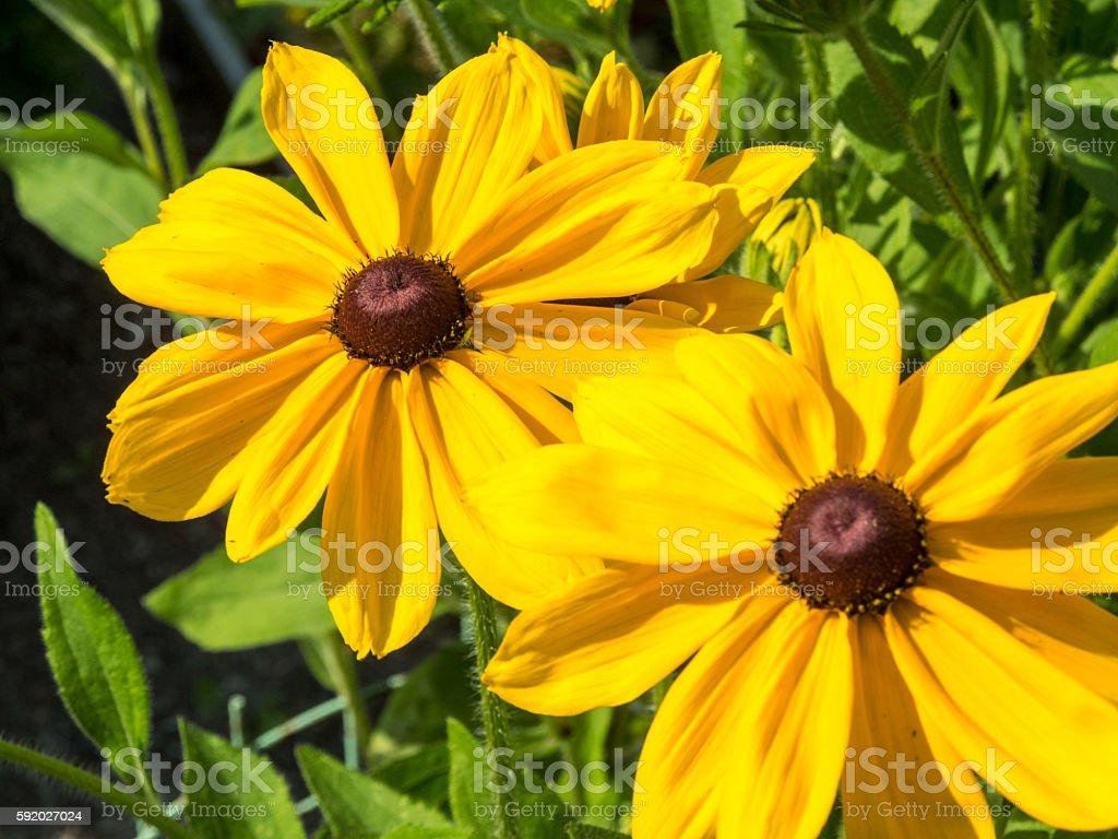 black eyed susan Rudbeckia hirta flowers stock photo