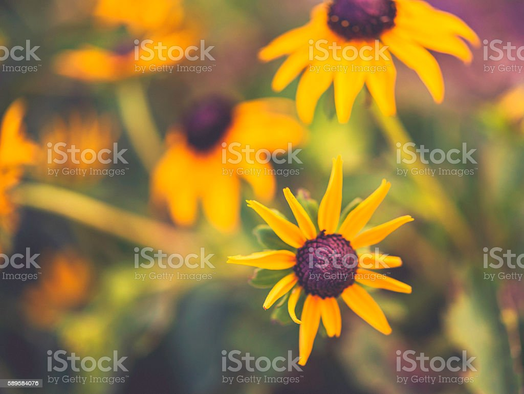 Black eyed Susan wildflowers growing wild in field with sunlight stock photo
