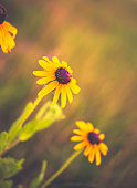 Black eyed Susan wildflowers growing wild in field with sunlight