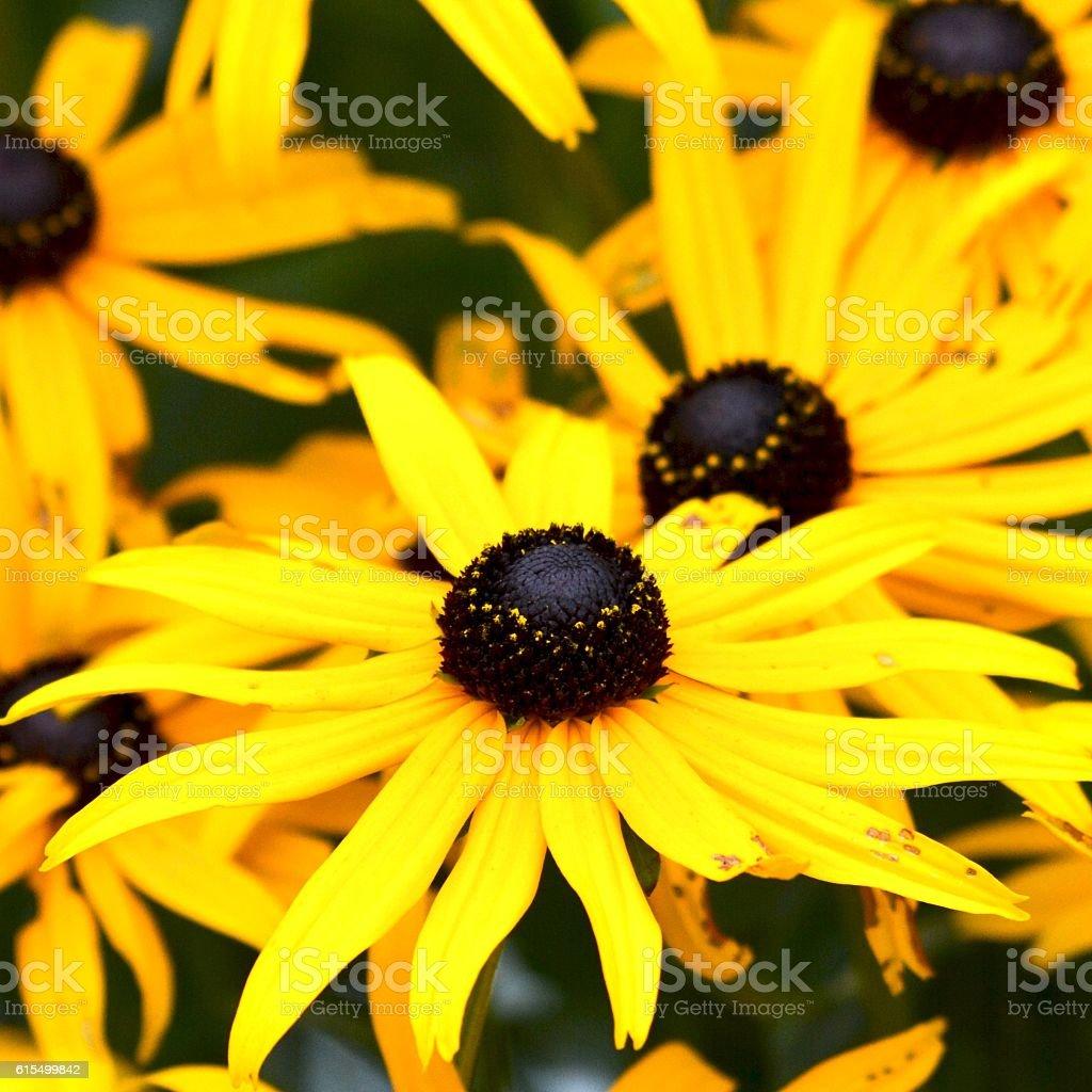 Black Eyed Susans Also Known as Rudbeckia stock photo