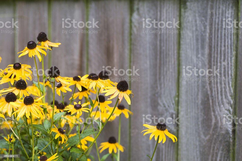 Black Eyed Susans stock photo