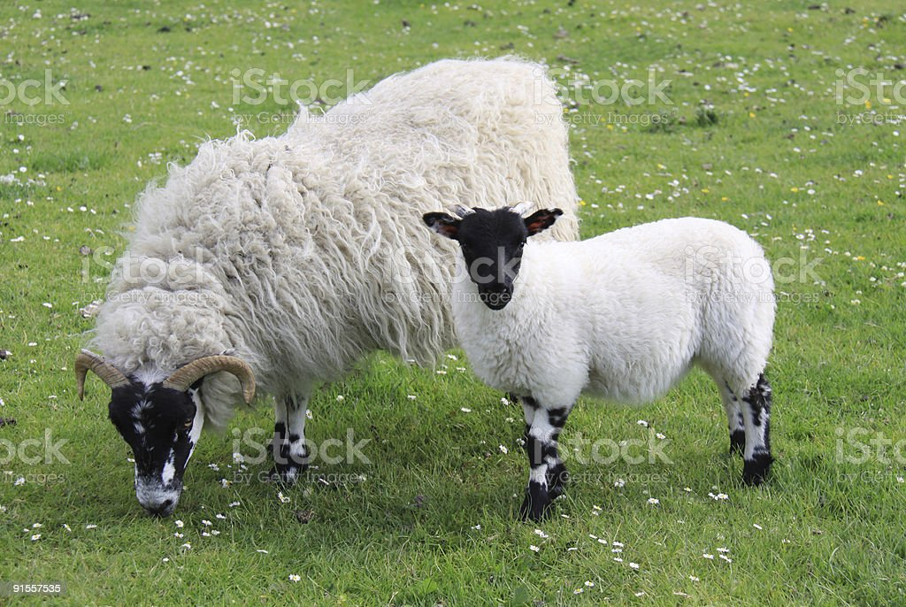 Black faced ewe feeding with her lamb looking at camera royalty-free stock photo