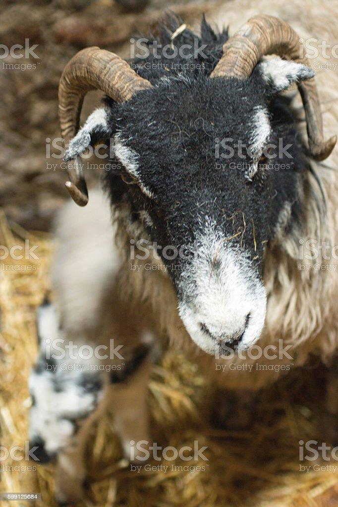 Black faced sheep with lamb stock photo