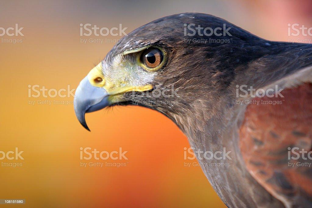 Black Falcon stock photo