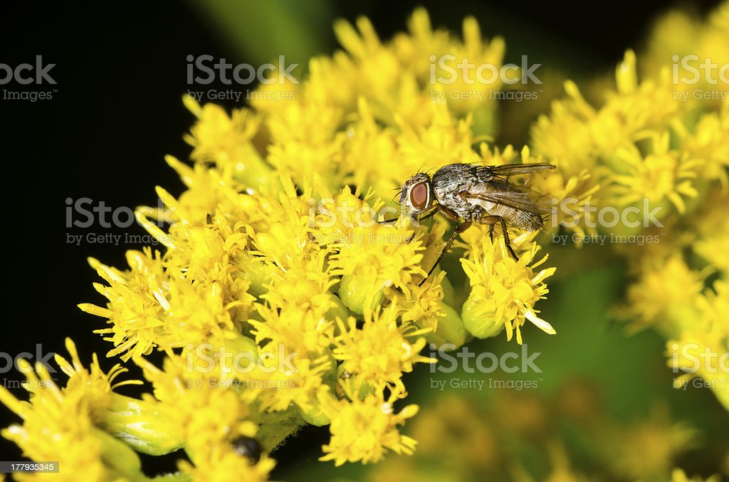 Black fly and flowers royalty-free stock photo