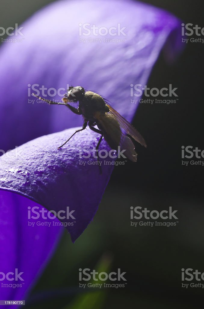 Black fly on a petal royalty-free stock photo