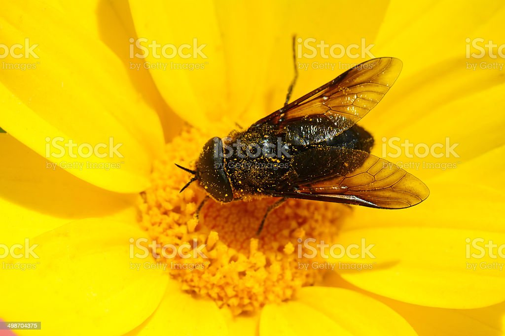 Black fly pollinating crown daisy stock photo
