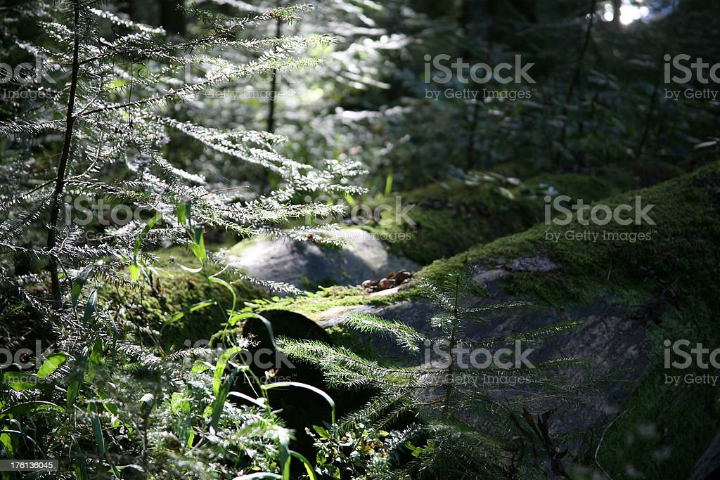 black forest mystery royalty-free stock photo
