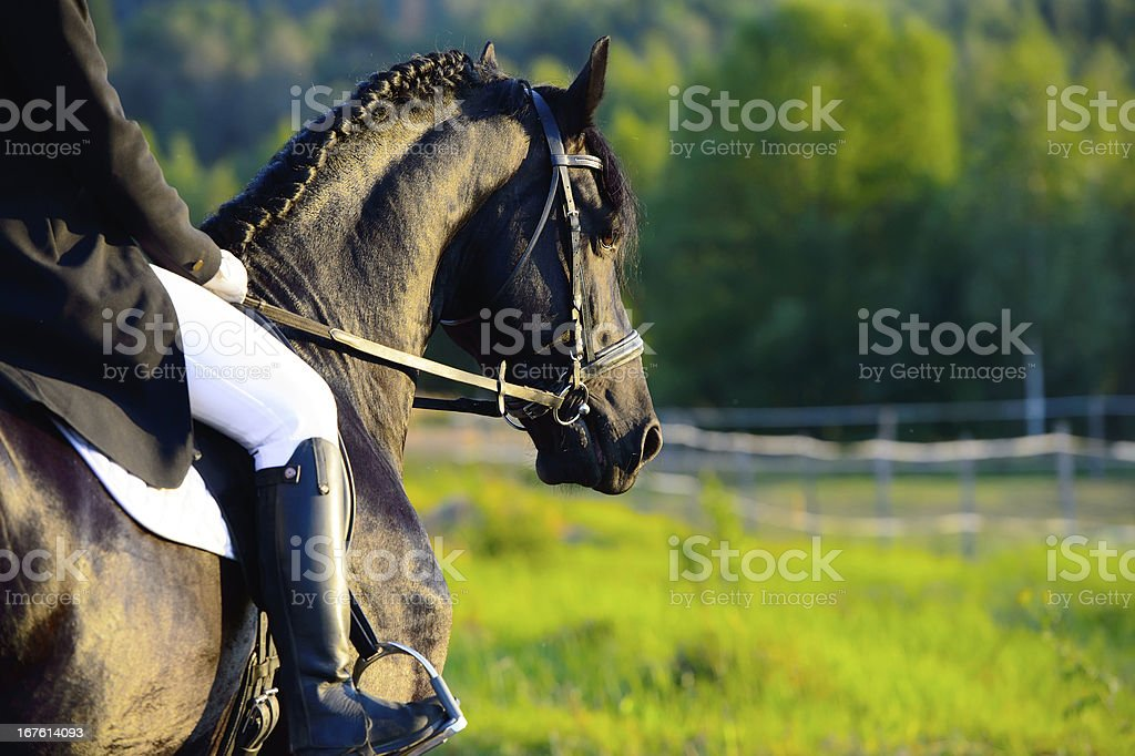 Black Friesian horse in the sunset with rider stock photo