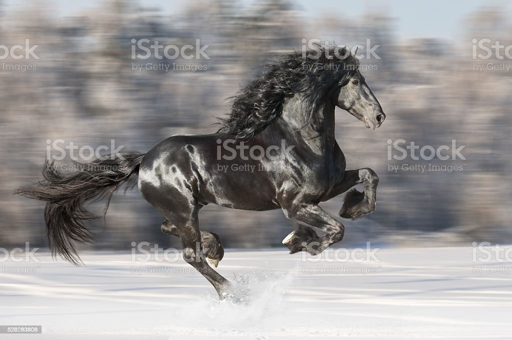 Black Friesian horse runs gallop on blurred winter background stock photo