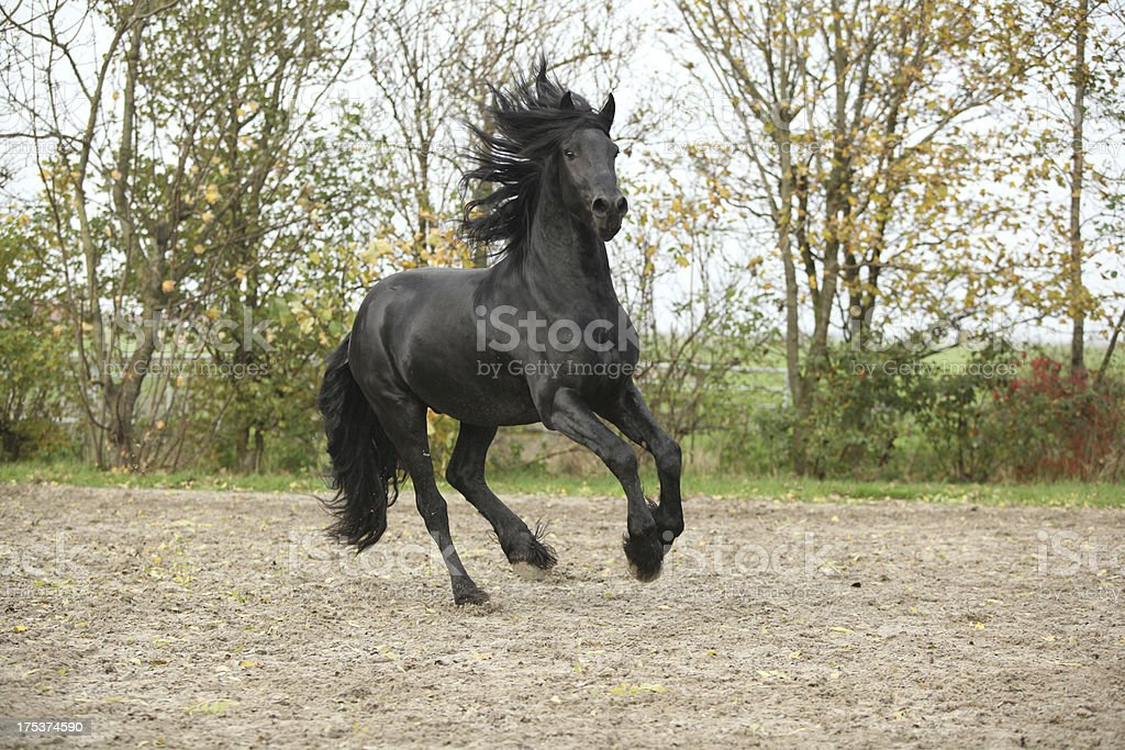 Black friesian stallion galloping on sand in autumn royalty-free stock photo