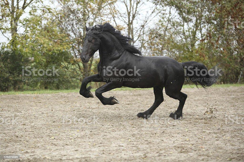 Black friesian stallion running on sand in autumn royalty-free stock photo