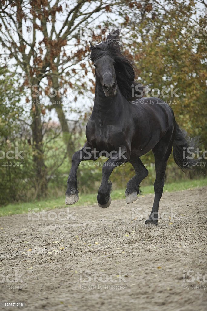 Black friesian stallion running on sand in autumn royalty-free stock photo