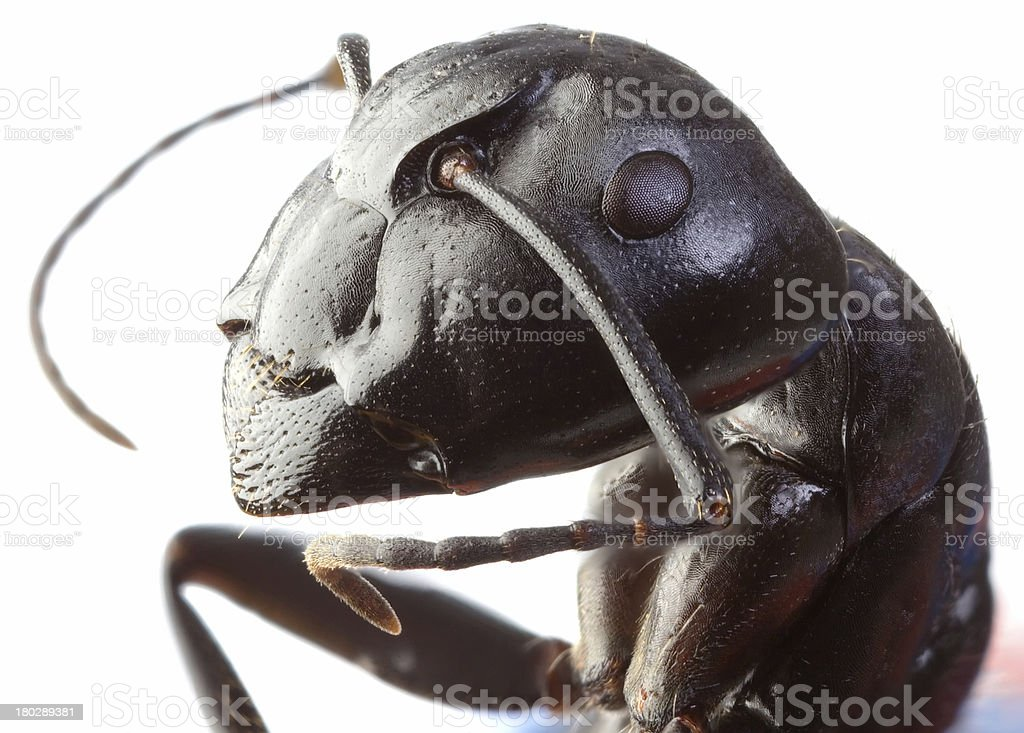 Black Garden Ant Cutout stock photo