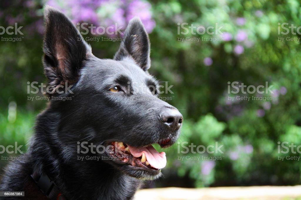 black german shepherd stock photo
