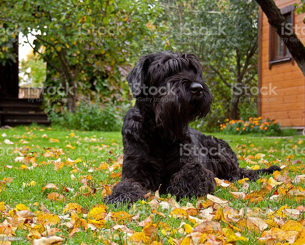 Black giant schnauzer stock photo