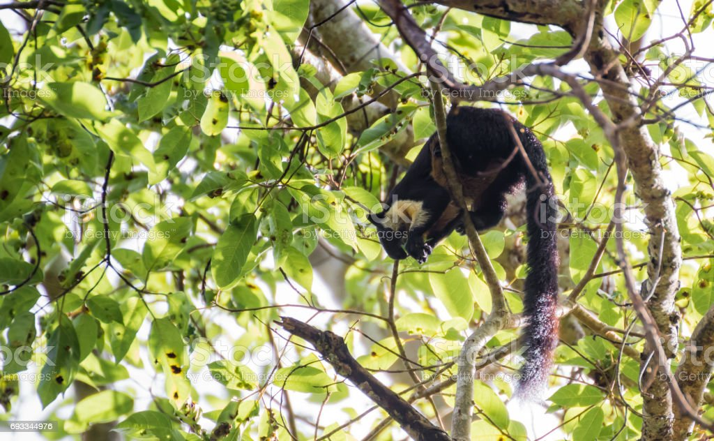 Black giant squirrel stock photo