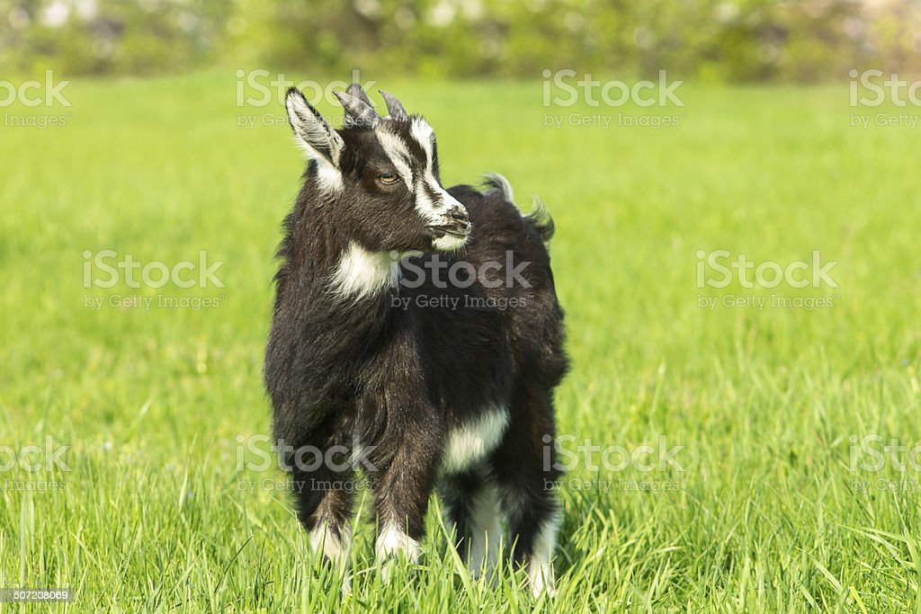 Black goat grazing at the meadow. Symbol of 2015 year. stock photo
