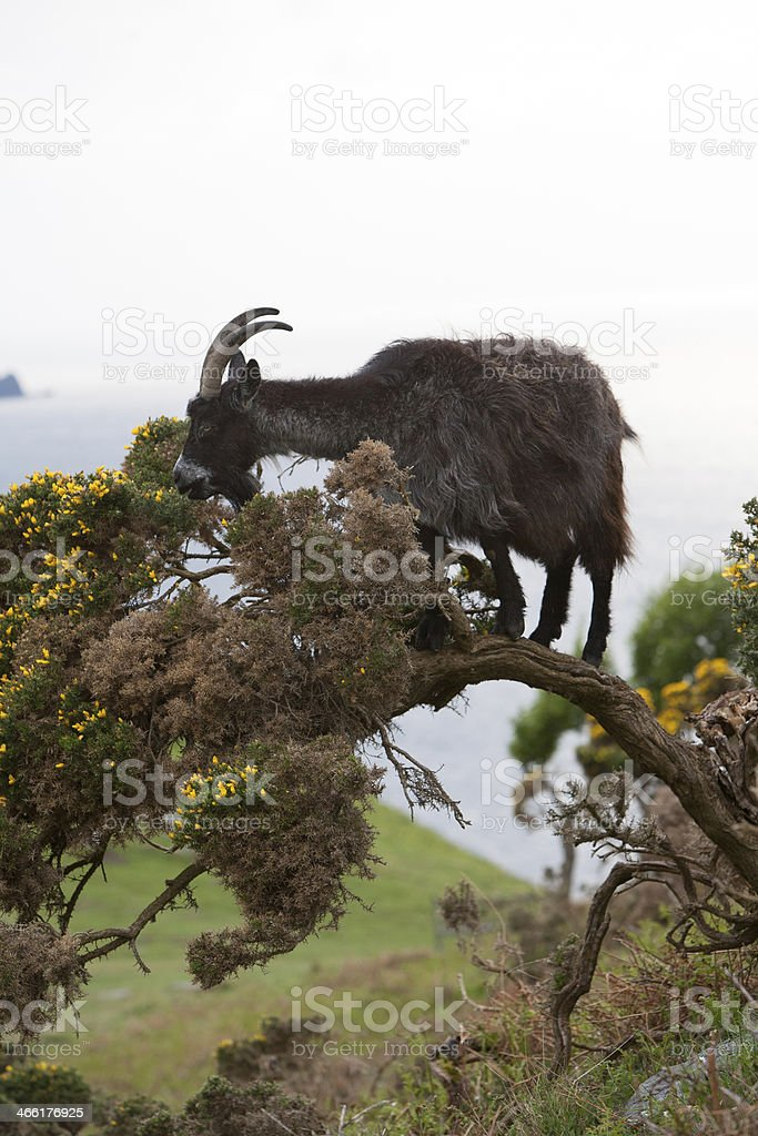 Black Goat in a Tree stock photo