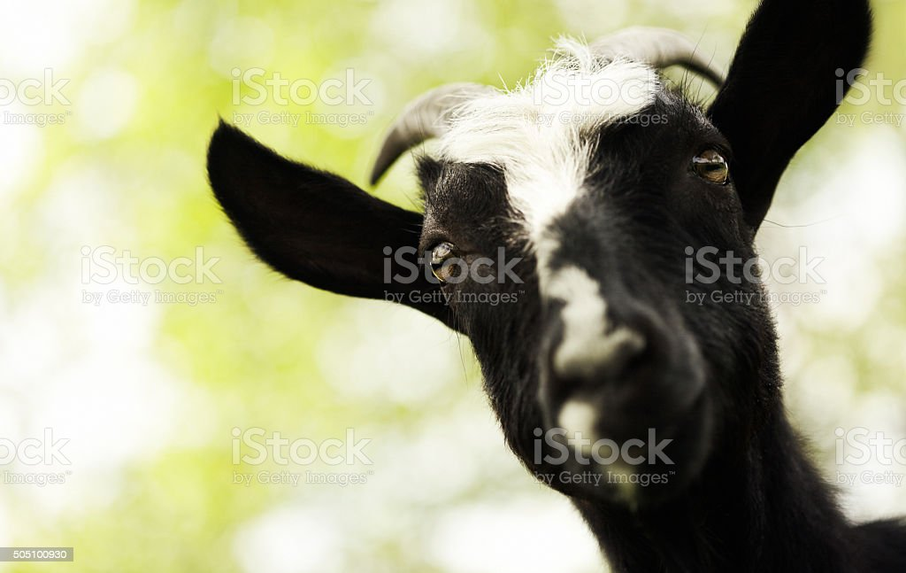 black goat looking at camera stock photo
