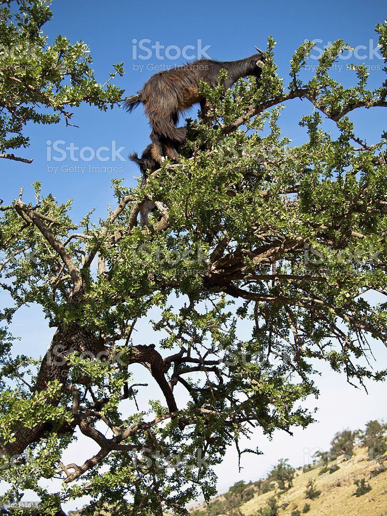 Black goat standing on top of a tree stock photo