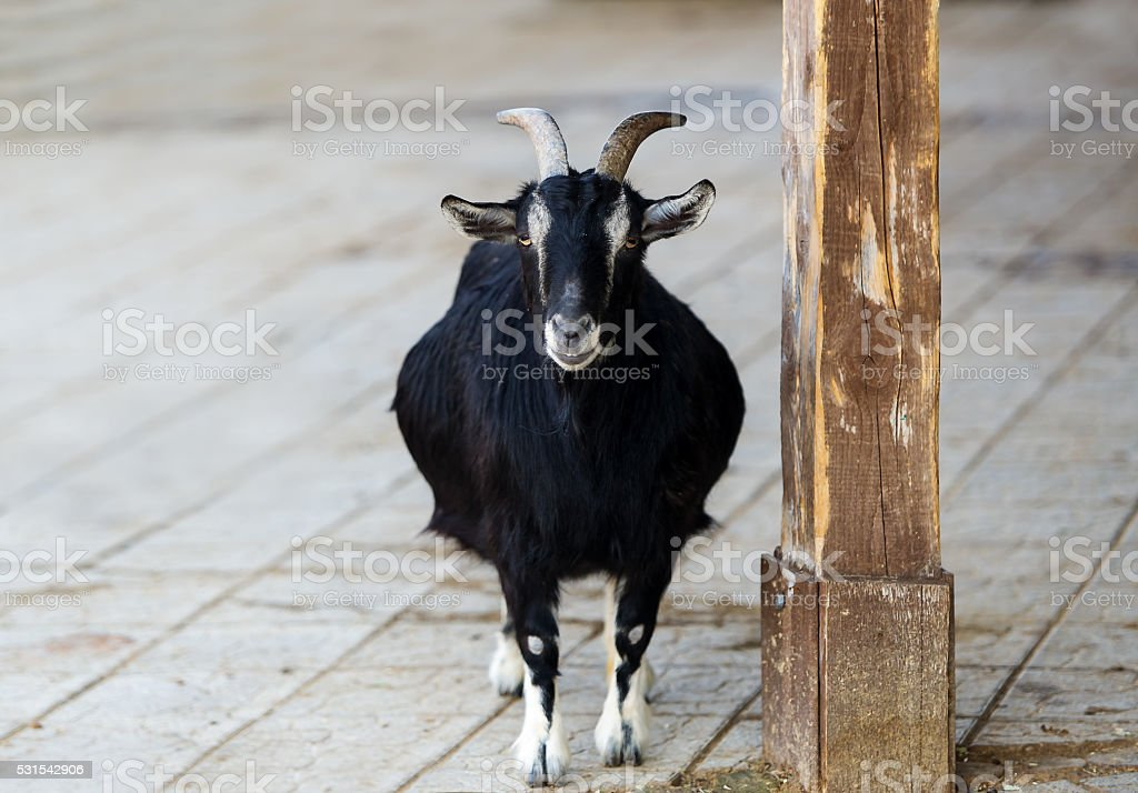 Black goat with a pot-belly. stock photo