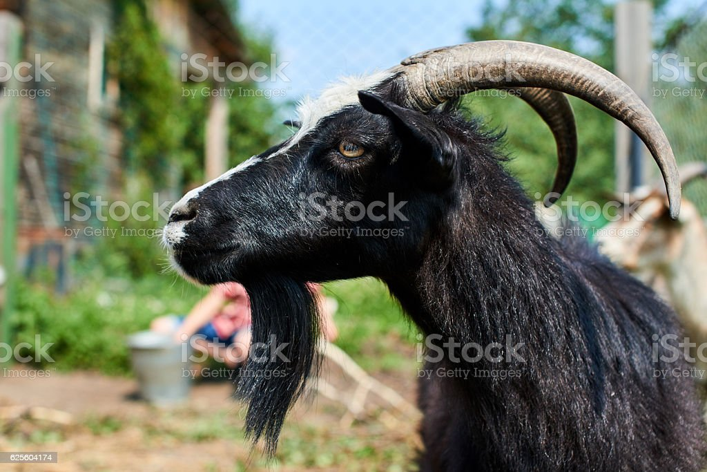Black goat with horns, closeup on the farm stock photo