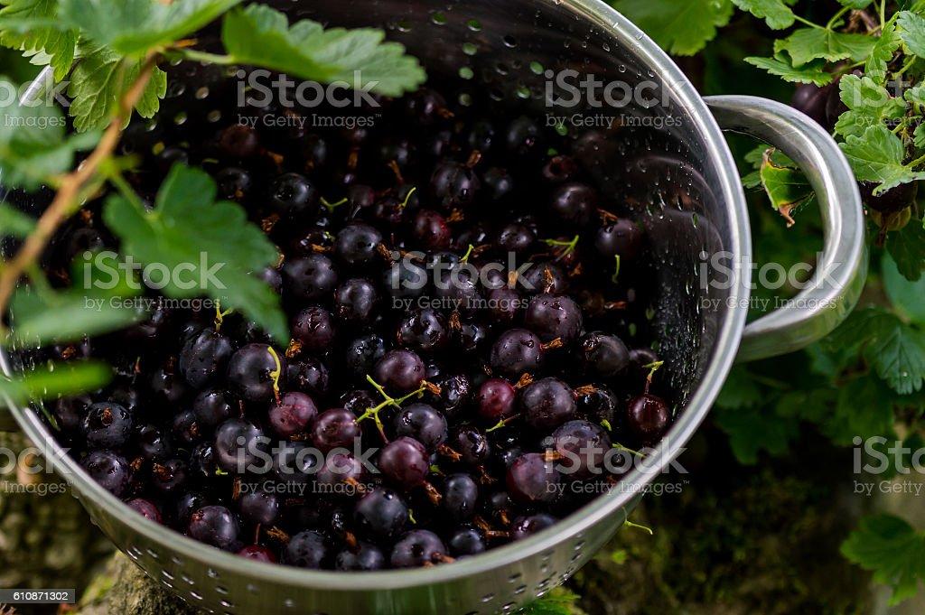 Black Gooseberries freshly picked from the bush. stock photo
