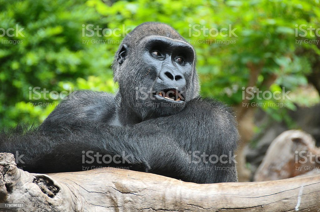 Black Gorilla Resting on a Wooden Pole royalty-free stock photo