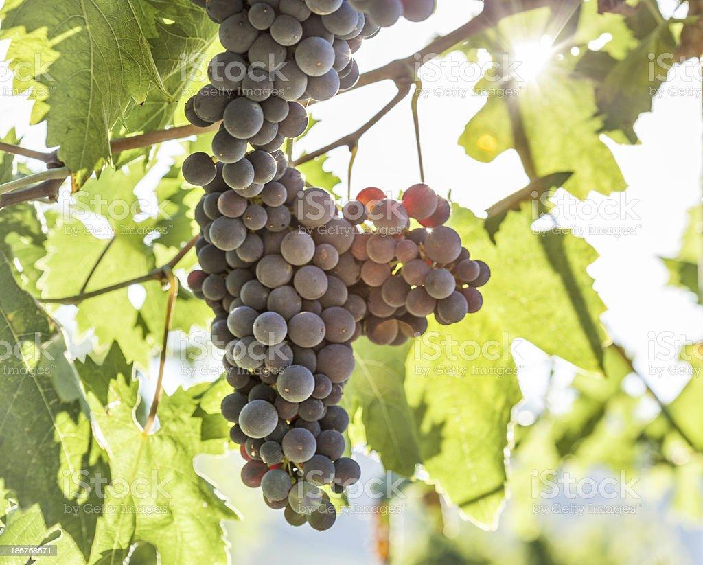 Black Grape Against Light royalty-free stock photo