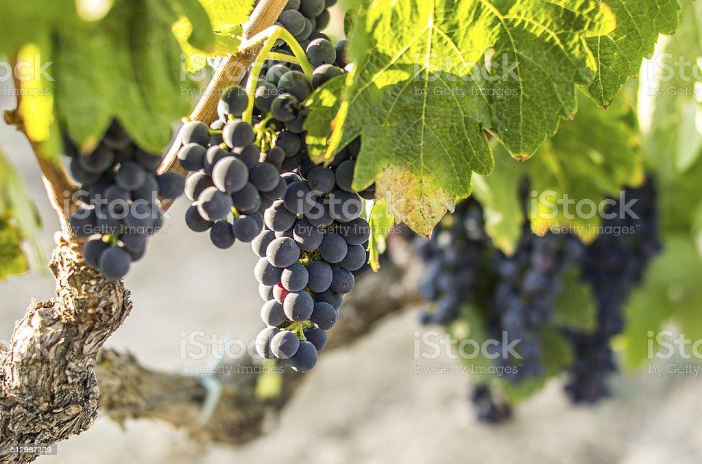 black grape focused at sun bokeh stock photo