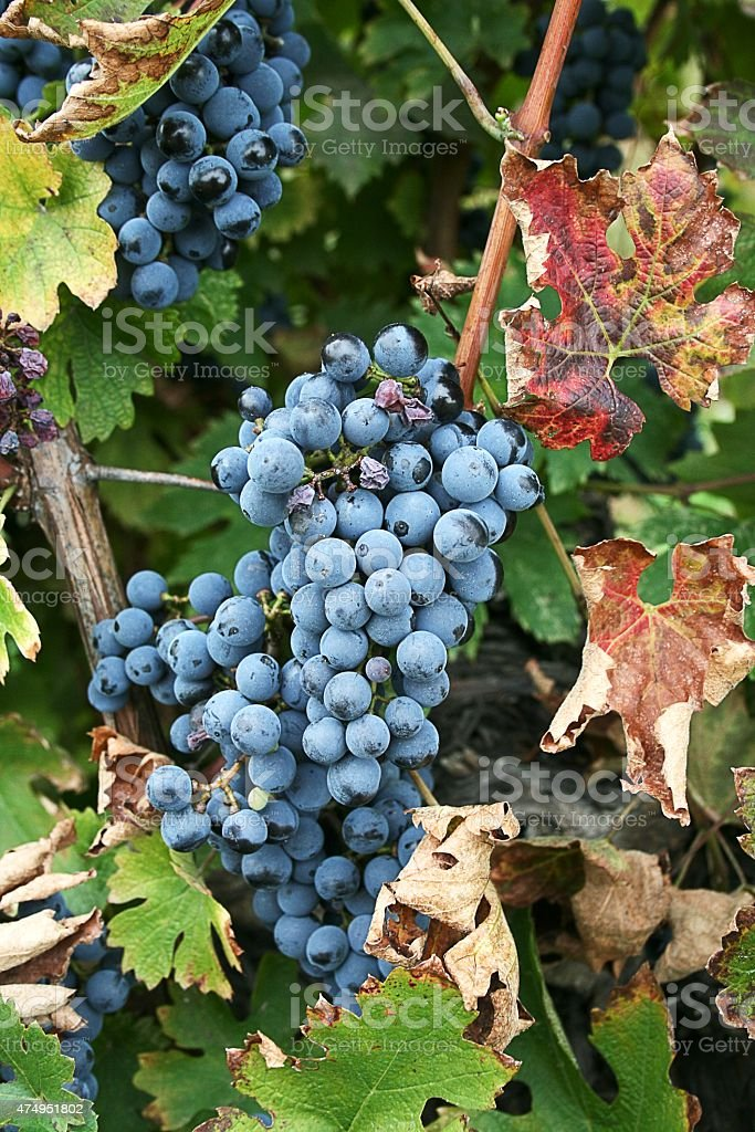 Black grape for red wine stock photo