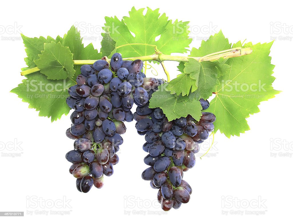 Black grape on cane vine with leafe. Isolated royalty-free stock photo