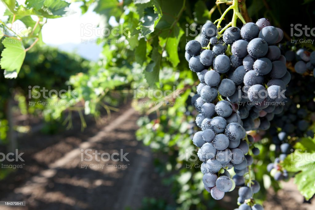 Black Grape stock photo