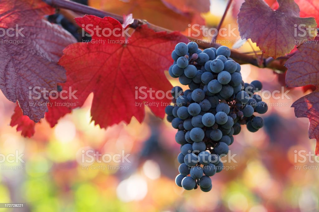 black grapes and colorful leaves royalty-free stock photo