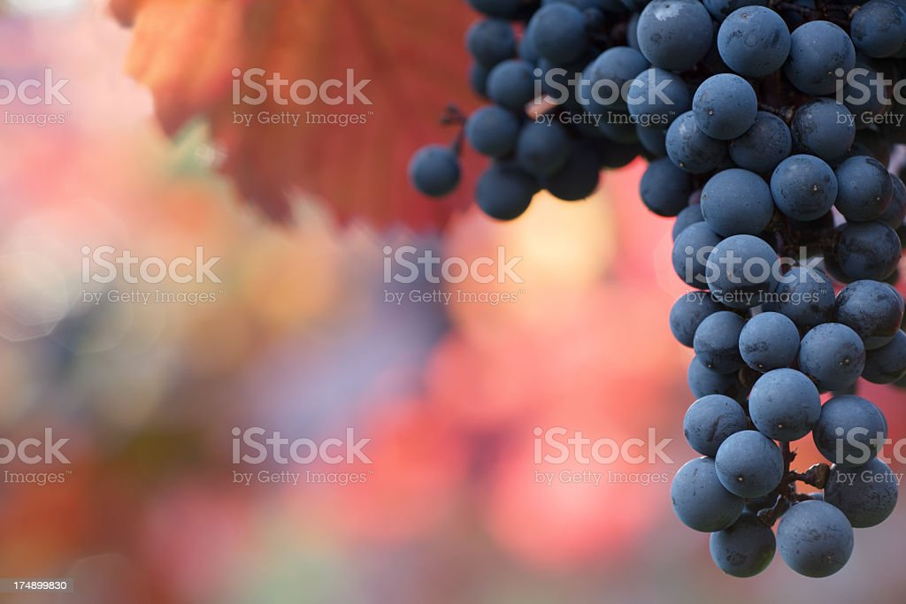 Black grapes hanging on the vine on a blurred background stock photo