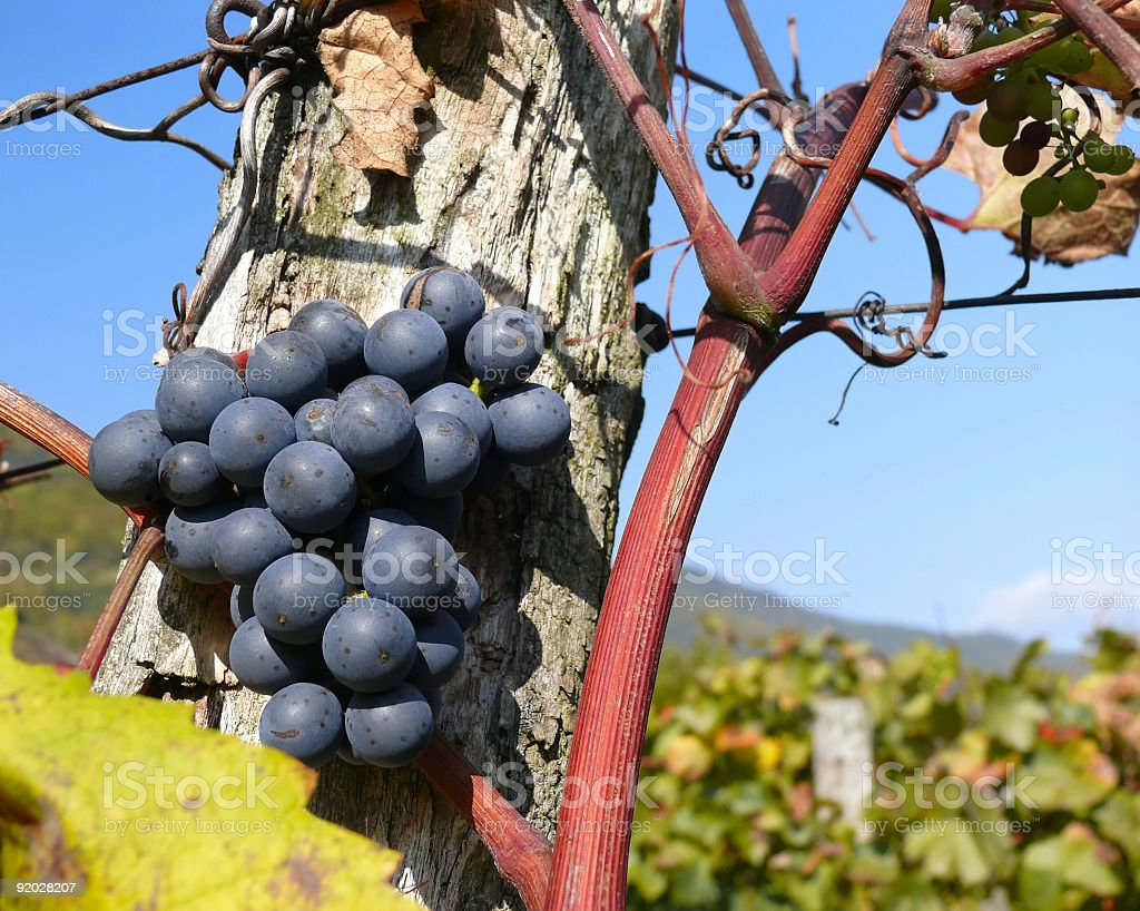 Black Grapes in a Vineyard, closeup royalty-free stock photo