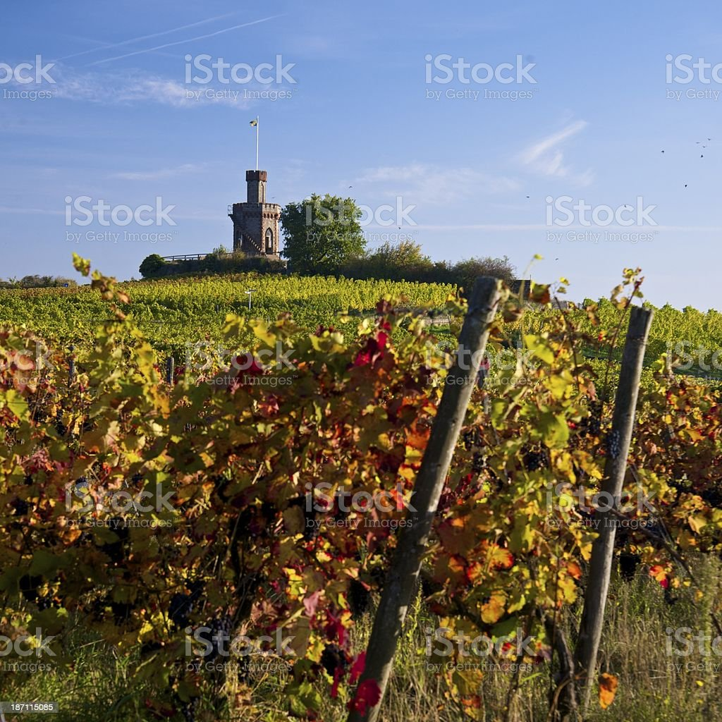 black grapes in autumn colored vineyard royalty-free stock photo