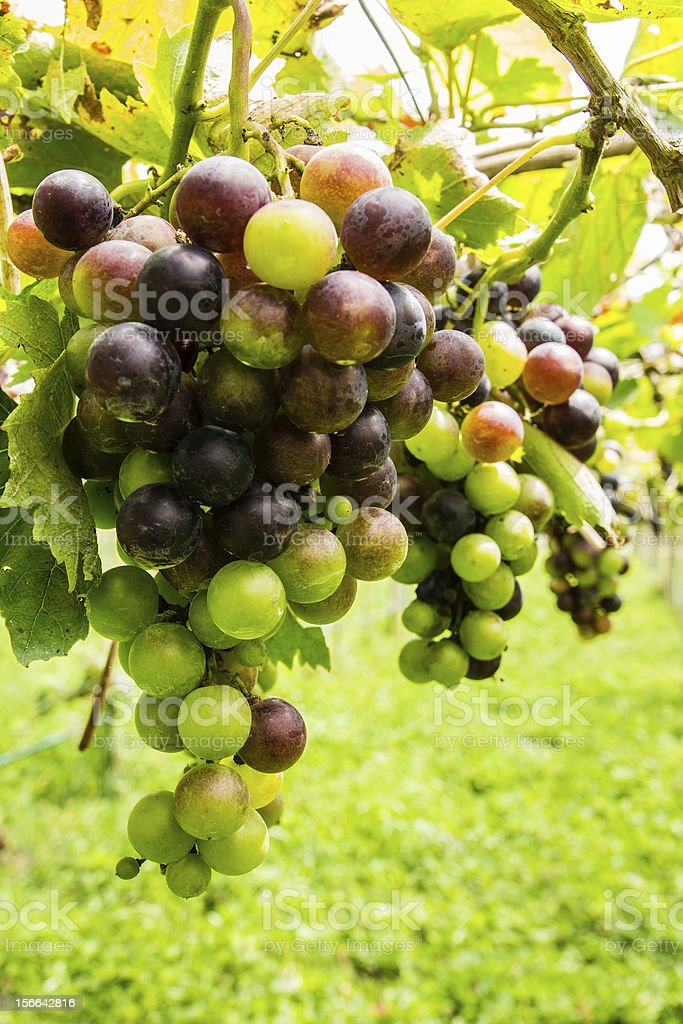 Black grapes in vineyard before harvest royalty-free stock photo