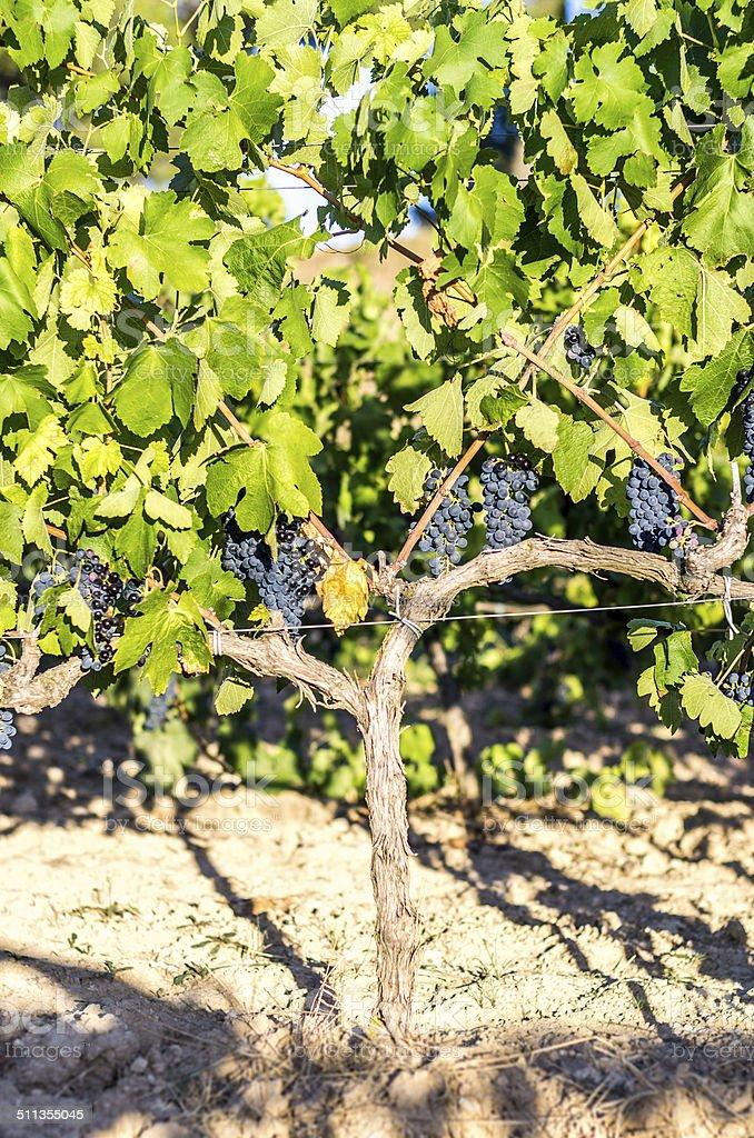 black grapes vine vertical stock photo
