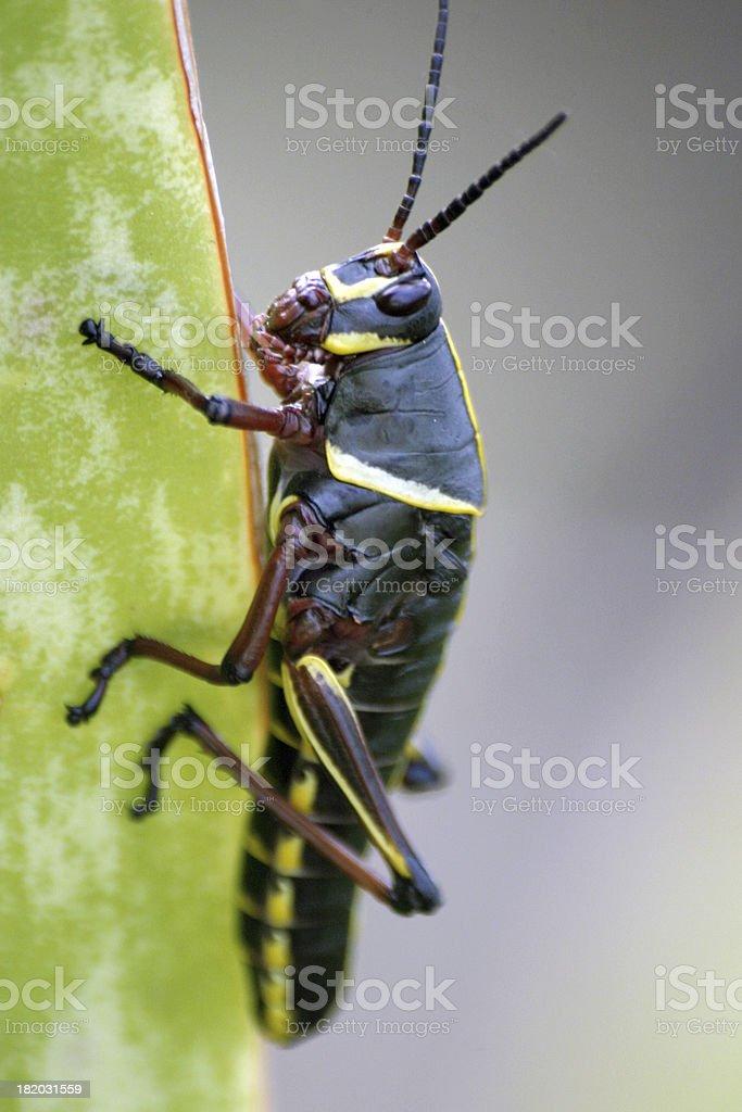 Black Grasshopper royalty-free stock photo