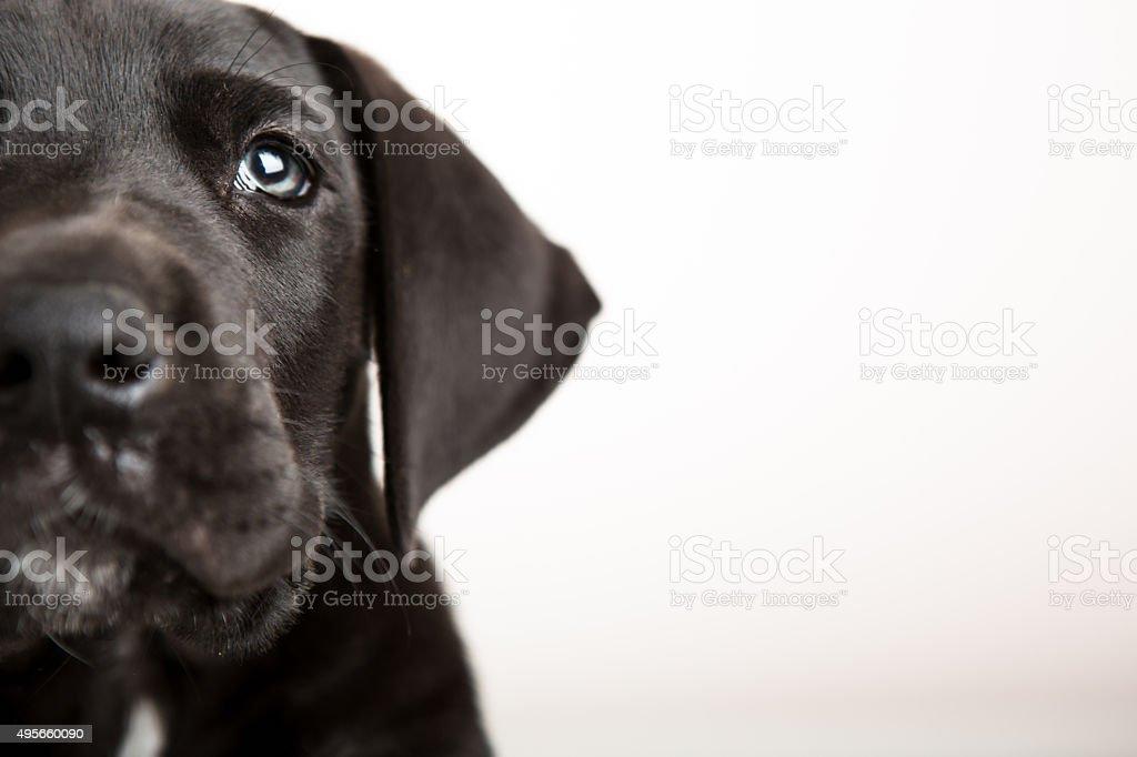 Black great Dane puppy face stock photo